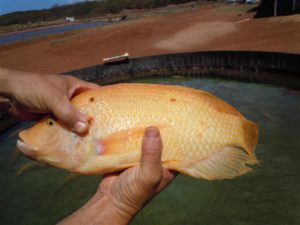 Tilapia, which Steve Chaikin raises primarily to sell to live fish markets in Honolulu. Photo by Catherine Cluett