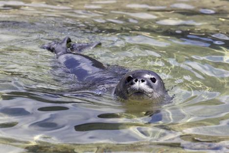 Molokai Has 11 Monk Seal Pups This Season