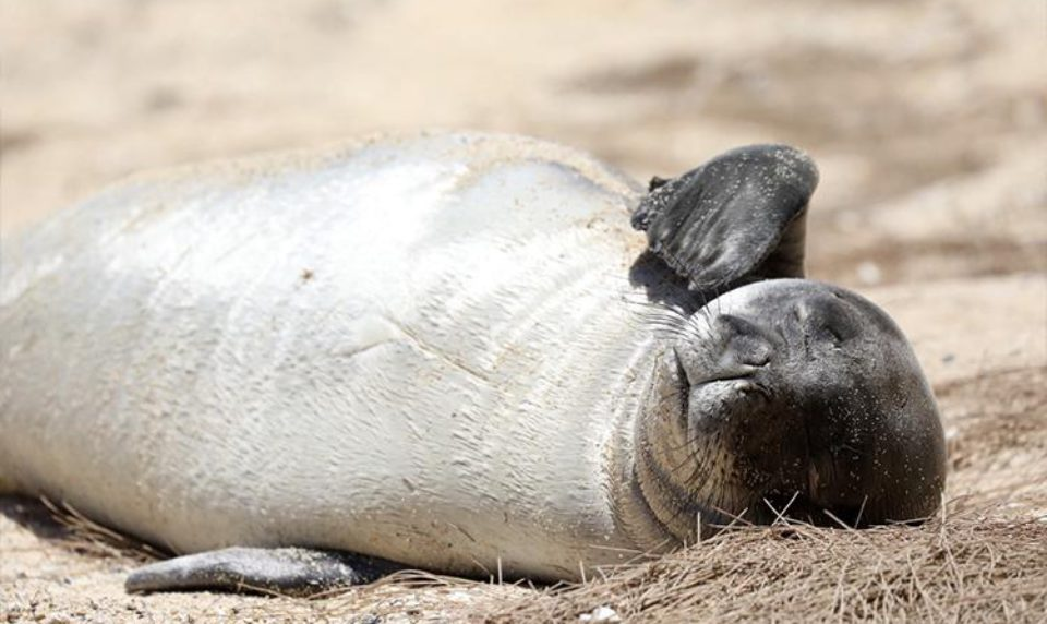 6th Monk Seal Dead on Molokai This Year