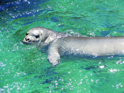 Monk Seal Killed at Mo'omomi