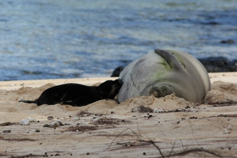 Monk Seal Births, Recovery Plan