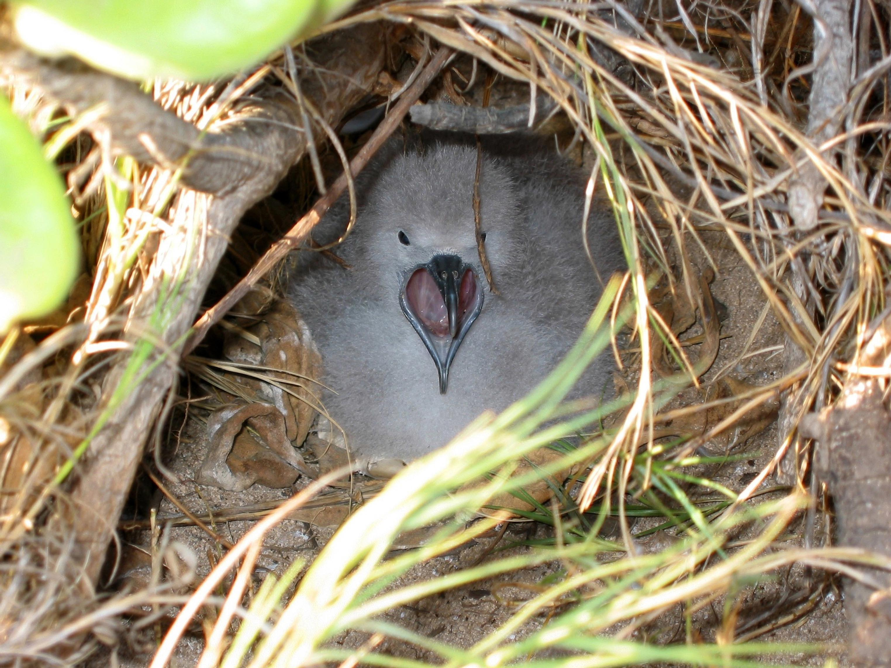 A Shearwater chick in its nest