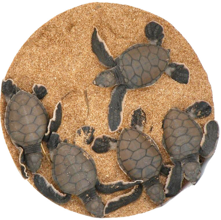 Baby honu hatched from a nest on Papohaku Beach in 2008. Dispatch file photo.