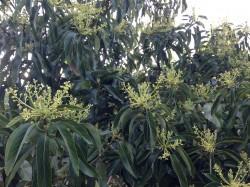 avacado in bloom