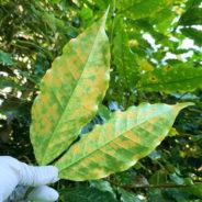 Coffee Leaf Rust Found on Molokai