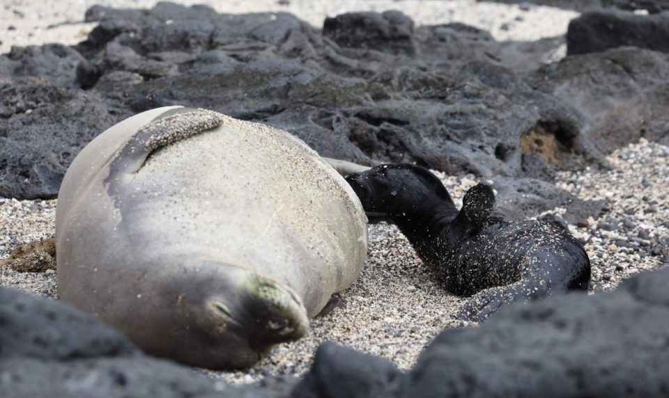 Kalaupapa's First Seal Pup of Season