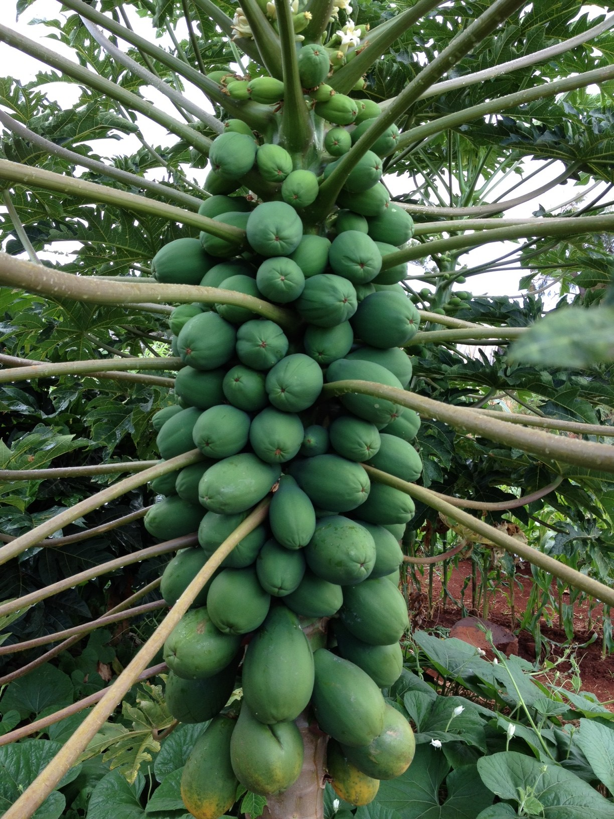Papaya tree grown by Marshall Joy. It's growing in compost and is an excellent example of a healthy and productive papaya tree.